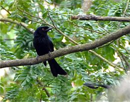 Birds of the Solstice: Starlings, orioles and a drongo