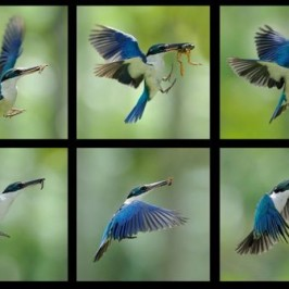 Collared Kingfisher: Food for the chick