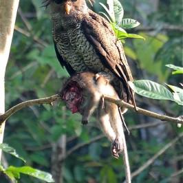 Barred Eagle-owl takes a monkey
