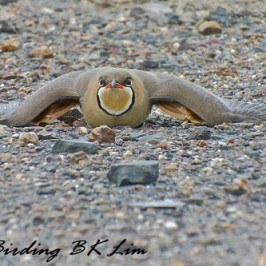 Oriental Pratincole crouching…