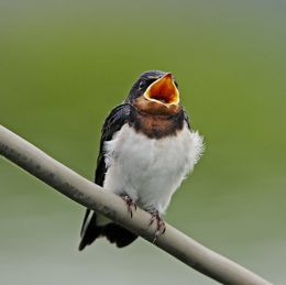 Barn Swallow: Fledgling behaviour