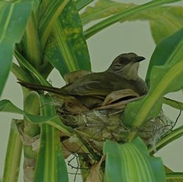 Nesting of the Olive-winged Bulbul