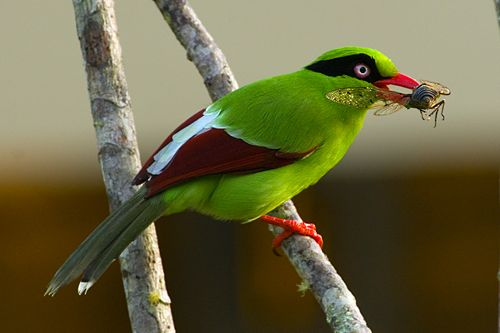 Short-tailed Green Magpie catches a cicada