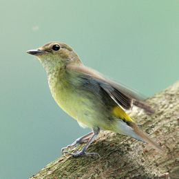 Yellow-rumped Flycatcher: Hunting-perching behaviour