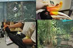 Re-introduction of a male Rhinoceros Hornbill