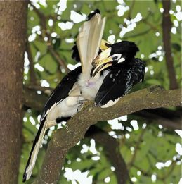 Oriental Pied Hornbill eating MacArthur palm fruit