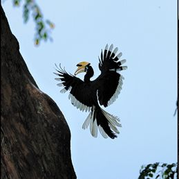 Citizen scientists document another hornbill nesting