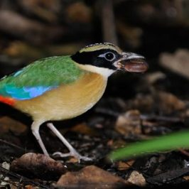 Blue-winged Pitta catching a snail