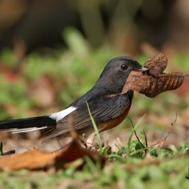 White-rumped Shama collecting nesting material