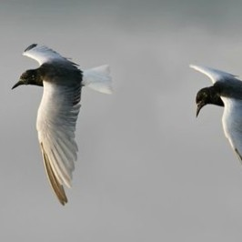 White-winged Tern: Hunting technique