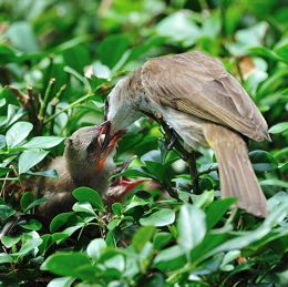 Yellow-vented Bulbul: Fledging moment