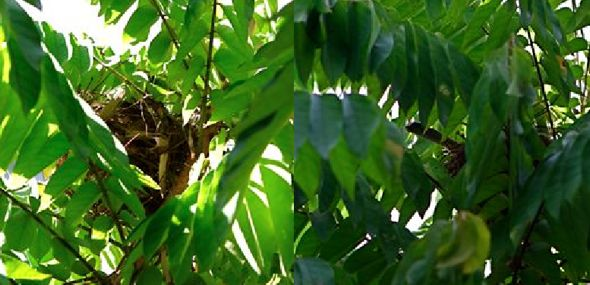 Yellow-vented Bulbul: Another nesting tragedy