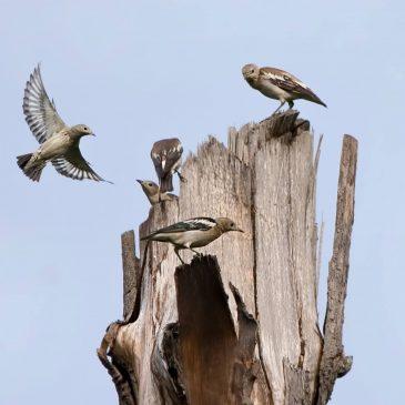 Purple-backed Starling at Punggol Barat