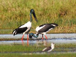Black-necked Storks and the Australian Pelican