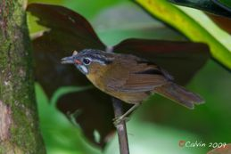 Grey-throated Babbler eating a moth