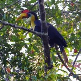 Wrinkled Hornbill at Panti forest, Johor
