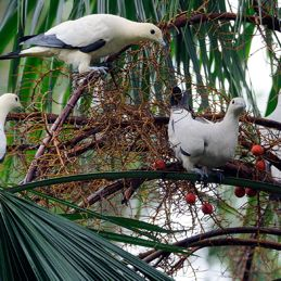 Pied Imperial Pigeons eating palm fruits