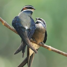 <strong>Whiskered Treeswift: Courtship and mating</strong>