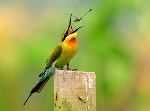 Blue-tailed Bee-eater manipulating a dragonfly