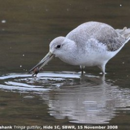 Nordmann's Greenshank catching a crab