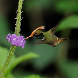 Hummingbirds harvesting nectar