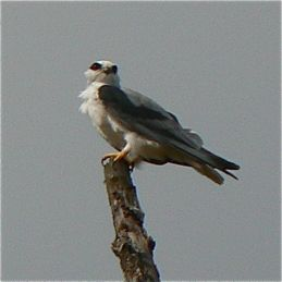 Resident Black-winged Kite defending its territory