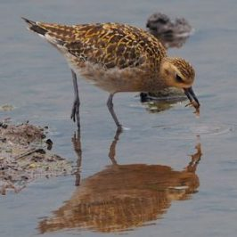 Pacific Golden Plover catching a crab