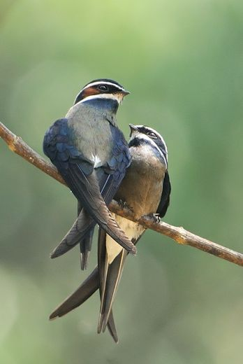 Whiskered Treeswift: Courtship and mating
