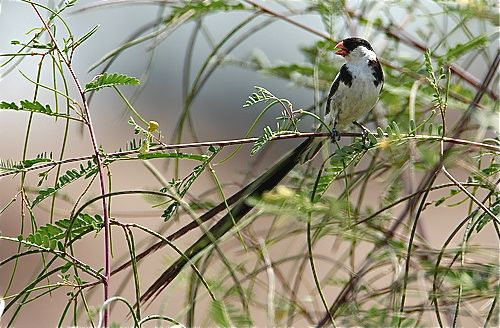 Sighting of Pin-tailed Whydah