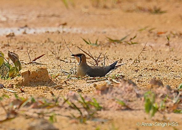 Oriental Pratincole nesting
