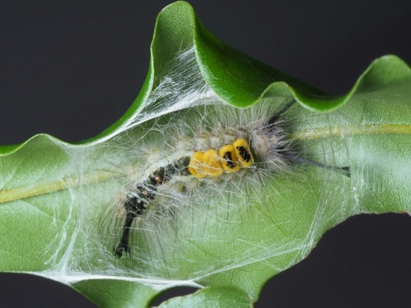 3 - 3 Sep 7am Start pupating-2.jpg [JaniceAng]