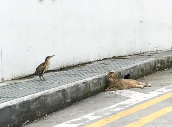 Cat stalking Von Schrecks Bittern #3