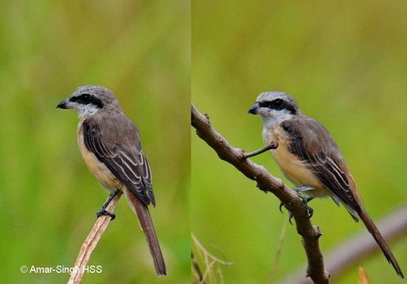 3 ShrikeBr-L. c. lucionensis ad-m [AmarSingh] a