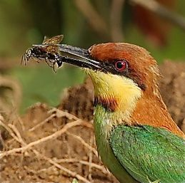 Chestnut-headed Bee-eater catching insects