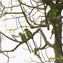 Flocking of Long-tailed Broadbill