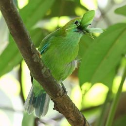 Blue-winged Leafbird takes on a long-horned grasshopper