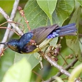 Brown-throated Sunbird and Macarange heynei