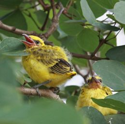 Black-naped Oriole and its wandering chicks