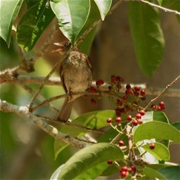Cream-vented Bulbul eating salam fruits