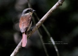 Why only juvenile Tiger Shrikes arrive in Singapore?