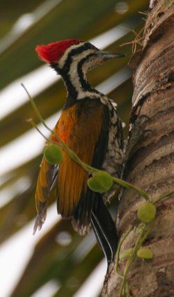 Hawking behaviour by a woodpecker