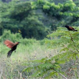 Lesser Coucal drying after a rain