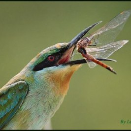 Blue-tailed Bee-eater and the dragonfly