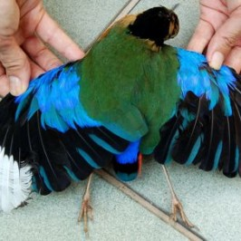 Blue Winged Pitta found dead