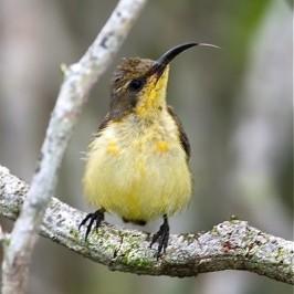 Olive-backed Sunbird's tongue