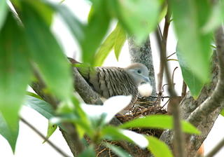 ZEBRA DOVES – 1. Hatching of the first egg