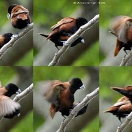 Black-headed Munia mating