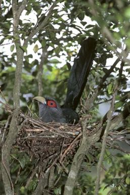 Chestnut-bellied Malkohas: A cuckoo that builds its own nest