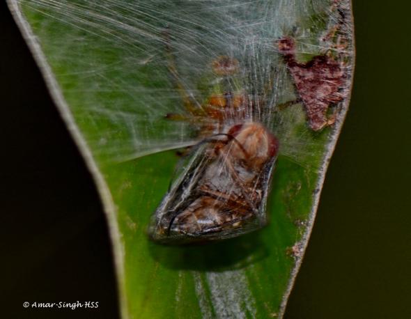 Araneus mitificus-KidneyGardenSpider [Amar-Singh]