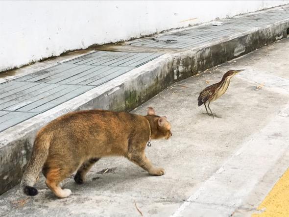 Cat stalking Von Schrecks Bittern #4